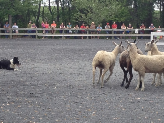Sheepdog demonstration.