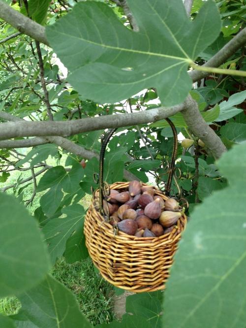 My Happy Fig Trees.